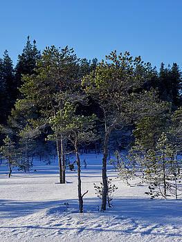 Small Pines in snow by Jouko Lehto