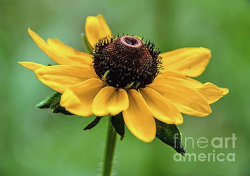 Small Sunflower by Lisa L Silva