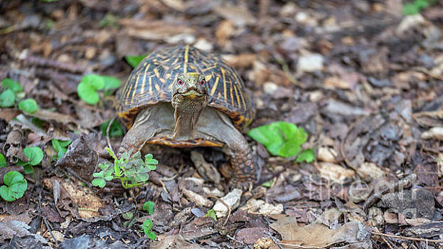 Small Turtle with Red Eyes Looking Straight at the Camera by PorqueNo Studios