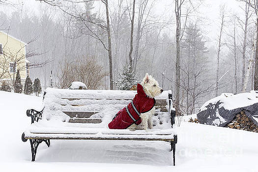 Small White Dog in Snow Storm on Bench by Edward Fielding