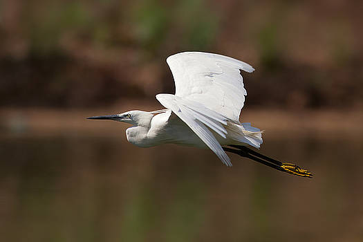 Yuri Peress - Small White Egret