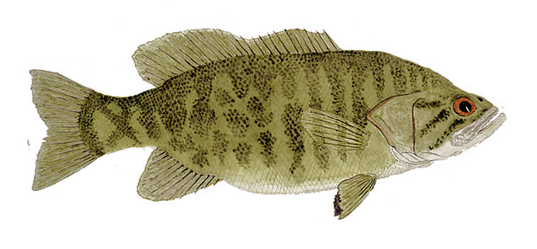 Smallmouth Bass by Thom Glace