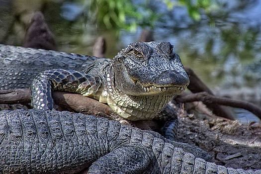 Smiling Sam the Gator Man by TJ Baccari