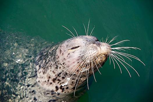 Smiling Seal by Ian Harland