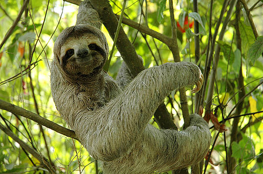 Smiling Sloth by Kathryn Colvig