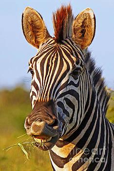 Smiling Zebra with grass, Africa wildlife by Wibke W