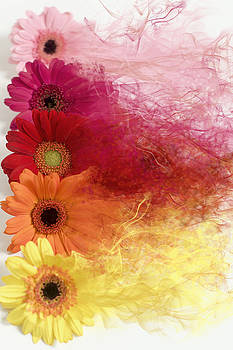 Smoke Splattered Gerbera Daisies by Di Kerpan