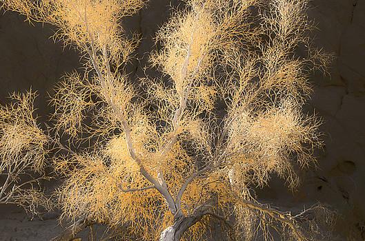 Smoketree Glow by Lee Scott
