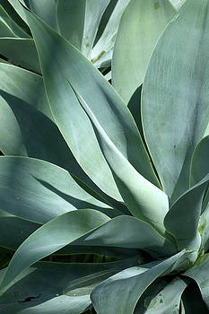 Smooth Agave by John Randolph