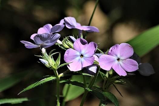 Smooth Phlox Wildflowers by Sheila Brown