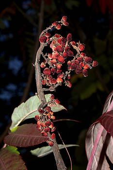 Smooth Sumac Flower by Robert Morin
