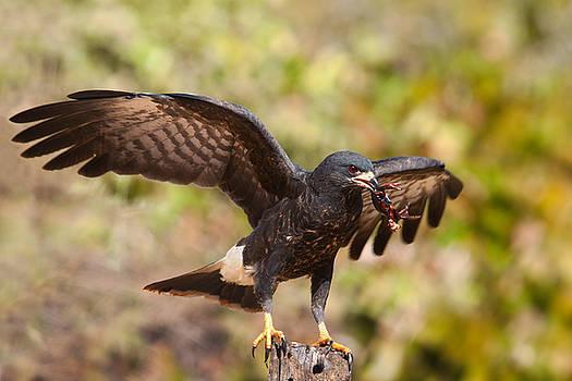 Snail Kite with Crab in Pantanal by Aivar Mikko