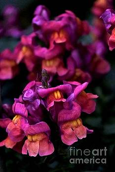 Snapdragons -2- by Issabild -