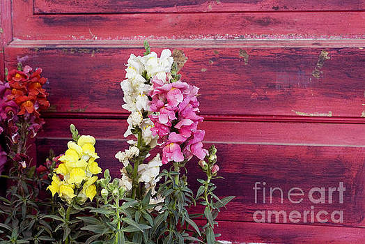 Snapdragons and red door by Cindy Garber Iverson