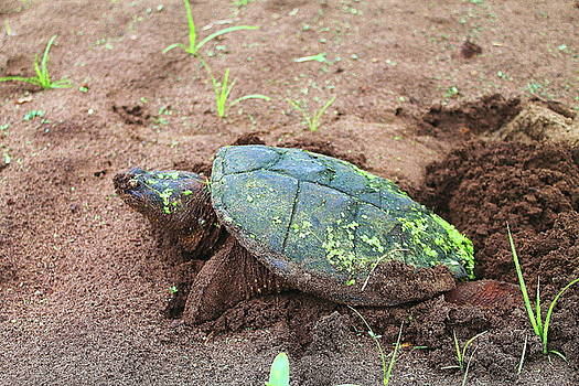 Snapping Turtle 4 by Bethany Benike