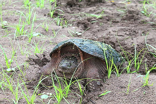 Snapping Turtle 5 by Bethany Benike