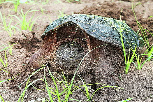 Snapping Turtle 6 by Bethany Benike