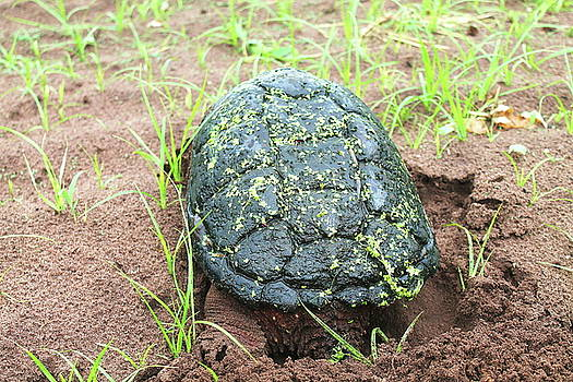 Snapping Turtle 7 by Bethany Benike