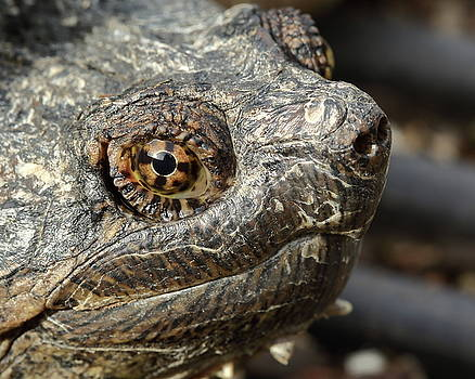 Snapping Turtle Portrait by Bruce J Robinson