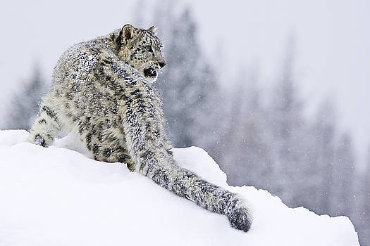 Snarling Snow Leopard by Paul Burwell