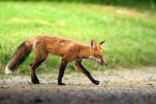 Sneaky Fox by Victoria Winningham