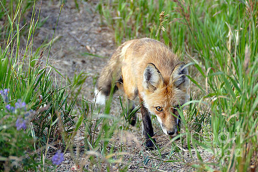 Sneaky Red Fox, Colorado by Catherine Sherman