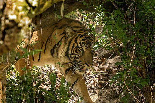 Sneaky Tiger by Tito Santiago