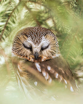 Snoozing Saw Whet by James Figielski by Paulinskill River Photography