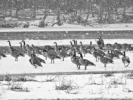 Snow And Geese On The River II by Kathy M Krause