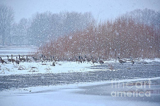 Snow And Geese On The River by Kathy M Krause
