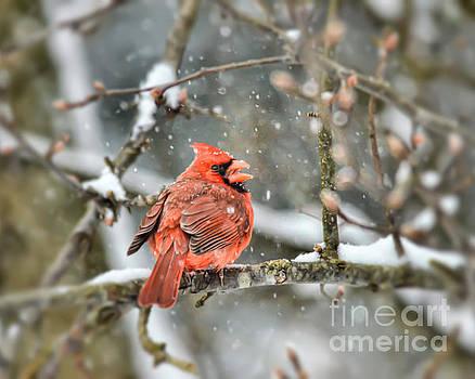 Snow Bird - Male Northern Cardinal by Kerri Farley