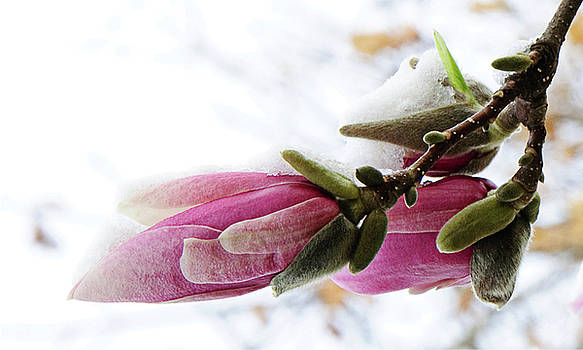 Andee Design - Snow Capped Magnolia Blossoms