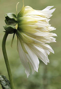 Snow Country Dahlia by Beth Fox