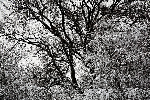 Snow Covered Branches 04 by Jason Moore