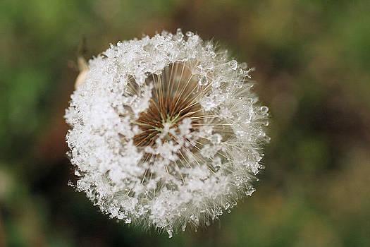Snow Covered Dandelion by Marjohn Riney