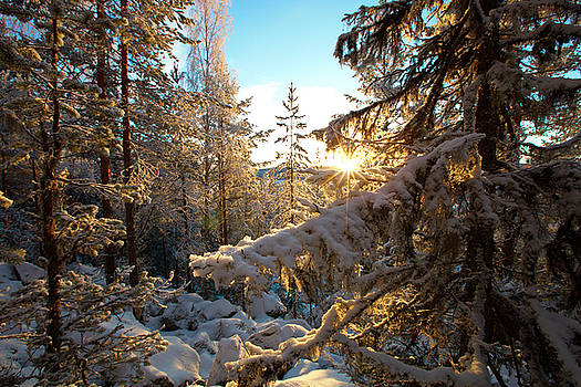 Snow covered fir trees gleaming in the golden winter sun by Ulrich Kunst And Bettina Scheidulin
