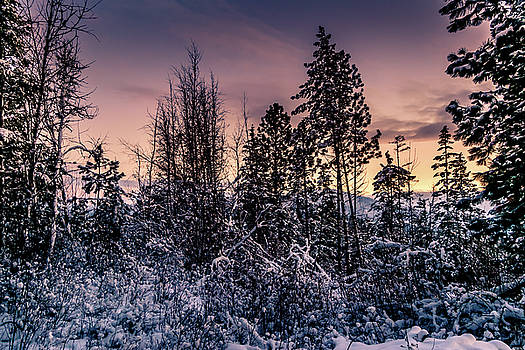 Snow Covered Pine Trees by Lester Plank