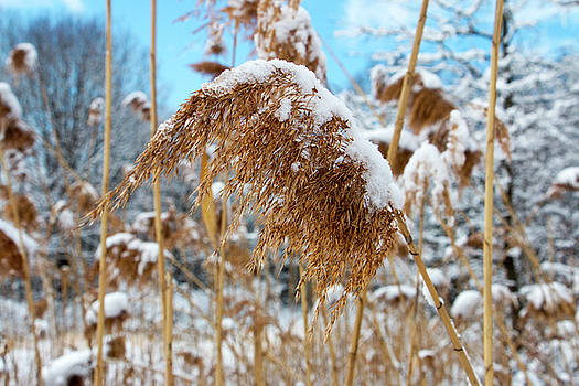Snow Covered Reed by Jeff Severson
