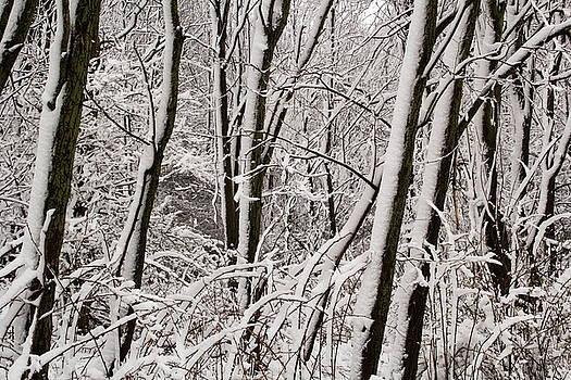Snow Covered Trees and Brush by Amanda Kiplinger
