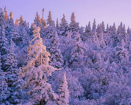 Alpenglow Snow Covered Trees by Tim Kirchoff