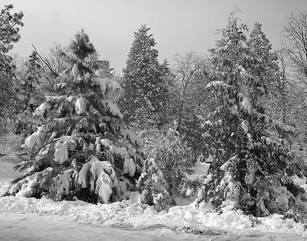 Snow Covered Trees by Nicole Madie