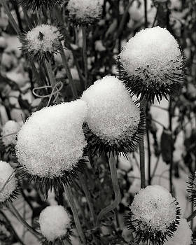 Snow Flowers by Paula Anderson