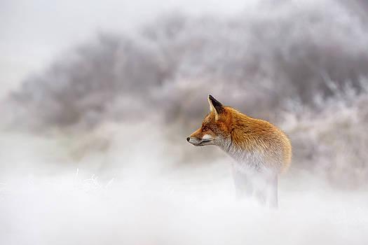 Snow Fox Series - Contemplation by Roeselien Raimond