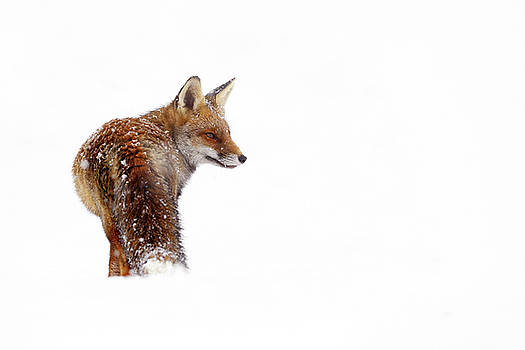 Snow Fox Series - Red Fox in a White World by Roeselien Raimond