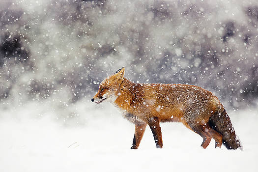 Snow Fox Series - Red Fox White Out by Roeselien Raimond