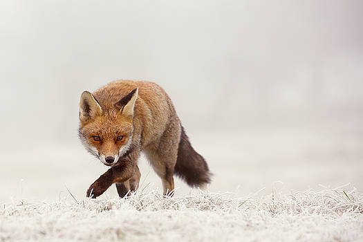 Snow Fox Series - The Catcher in the Rime by Roeselien Raimond