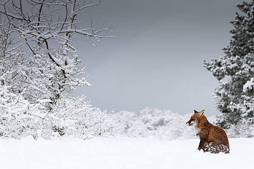 Snow Fox Series - The Watcher by Roeselien Raimond