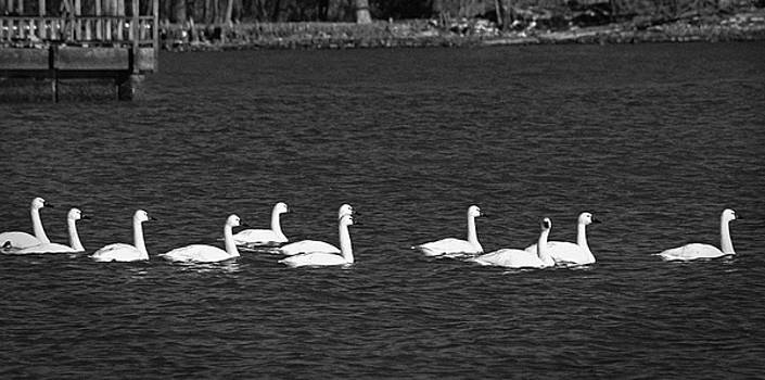 Snow Geese by Carolyn Ricks