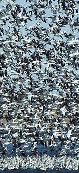 Snow Geese by Caryl J Bohn