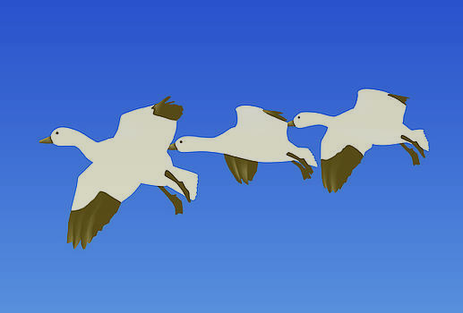 Snow geese by David Strong